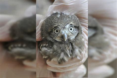 week  baby pygmy owls land  phoenix zoo