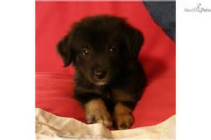 small lab adopt poohbear a mixed other puppy for quot poohbear quot the