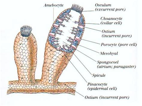 diagram of sponge sponges the original animal house scientific american
