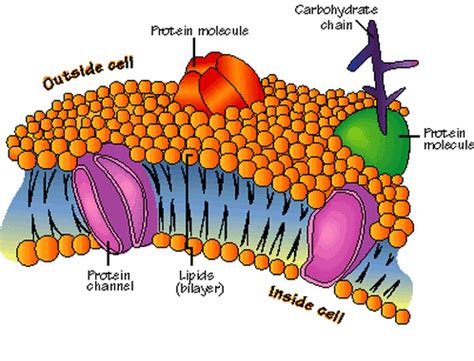 cell membrane labeled diagram plasma membrane notes biology mrs mccomas