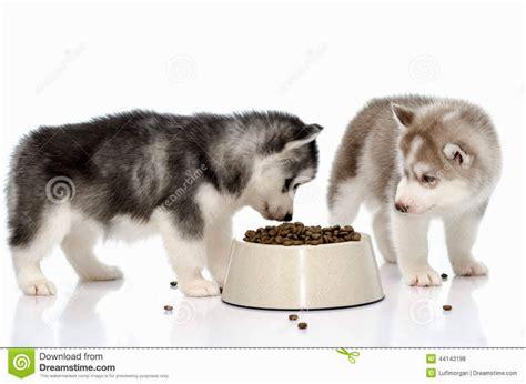 siberian husky puppy food siberian husky puppy food puppies puppy