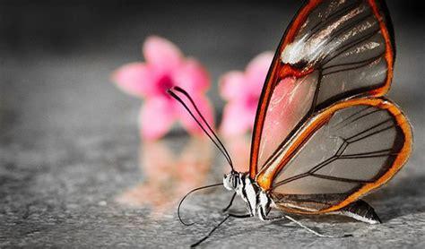 imagenes mariposas de cristal mariposa glasswing alas de cristal marcianos