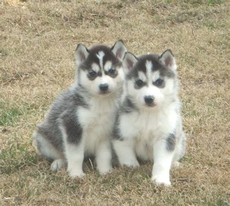 huskey puppies for sale siberian husky puppies for sale pa siberian husky breeder