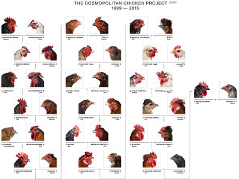 identify breed by characteristics rooster breeds chart chicken charts sweet southern blue ratelco
