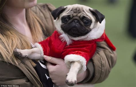merry pug pugs dress up as and mince pies at festive daily mail