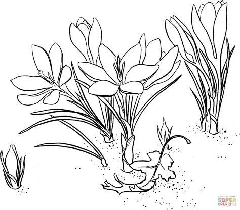 crocus flower coloring page coloriage crocus coloriages 224 imprimer gratuits