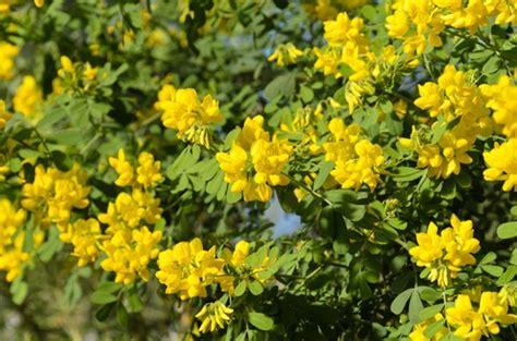 yellow like flower shrub coronilla valentina subsp glauca citrina glaucous