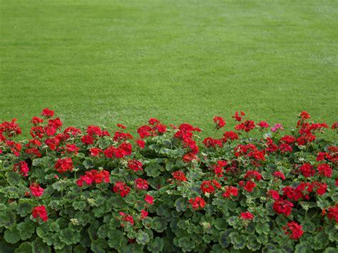 Pflanzen Garten Ohne Pflege by Geranien Pflegen Eine Der Beliebtesten Blumen In