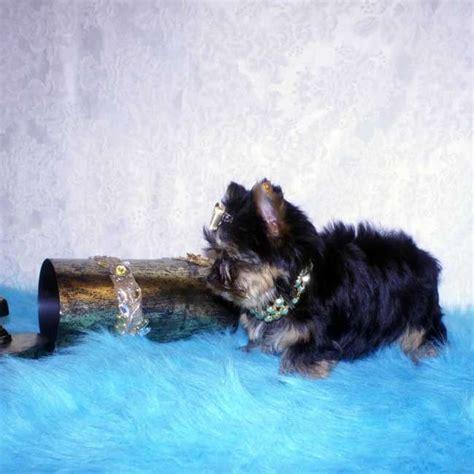 teacup yorkie hawaii terrier puppies for sale akc teacup yorkie breederyorkie breeds picture