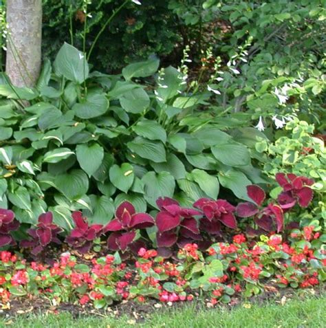 halbschatten garten shade garden coleus and impatiens or begonias for the