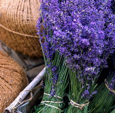 Harga Bibit Bunga Lavender bibit tanaman gold creek lavender daftar harga produk