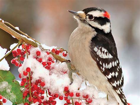 downy woodpecker wild delightwild delight