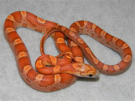 sunkissed corn snakes for sale buy a sunkissed corn snake pictures