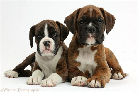 8 week boxer puppy dogs two boxer puppies 8 weeks photo wp38160