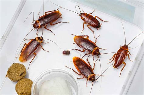 Do Cockroaches Shed by 5 Fascinating Facts About Roaches
