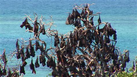volpe volante volpe volante nera indonesia rm clip 610 359 827 in hd