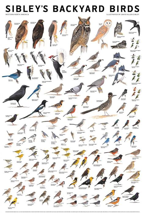 Backyard Bird Identification by Sibleys Backyard Birds Poster From Birdfeedersnmore