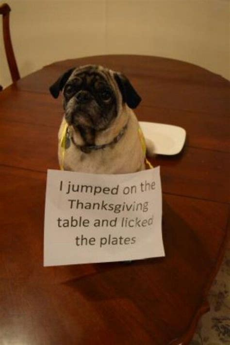 mud pug 1000 images about pug shaming on the mud and shaming