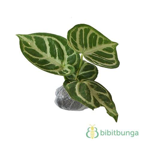 tanaman kuping gajah putih bibitbungacom
