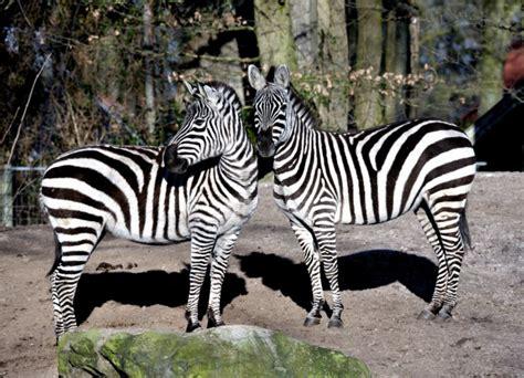 zebra druck badezimmer ideen bild zebra wohnzimmer home design inspiration und m 246 bel