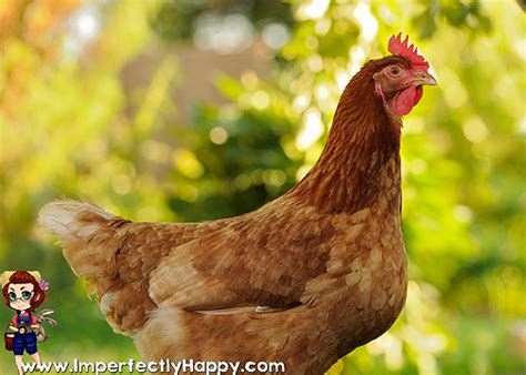 Backyard Hens by Backyard Chickens The Bad And Imperfectly Happy