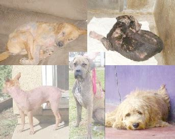 what does mange look like on a what does mange look like pets best rx health