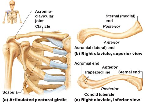 diagram of the clavicle clavicle anatomy images