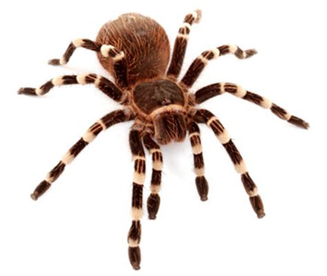 Buying Bed Sheets by Pet Tarantulas Care Sheet Tarantula Guide