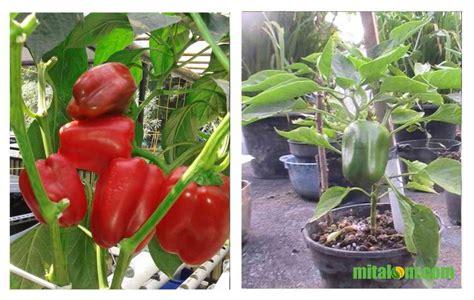 Bibit Paprika Merah 10 tahap mudah menanam paprika dalam pot atau polybag agar