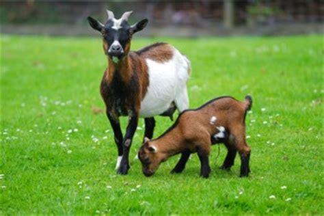 geiten in tuin schaap geit en herkauwers voeding verzorging horta