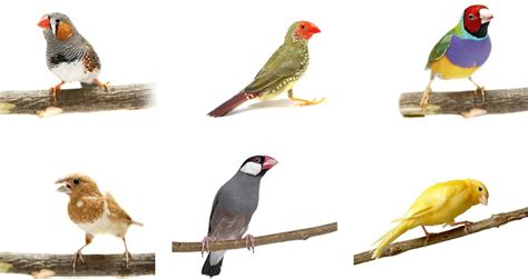 introduction to finches finches and canaries guide