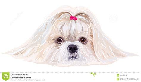 colors of shih tzu dogs shih tzu stock vector image 60923013