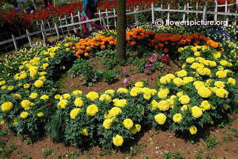 marigold marigold  ii yellow tagetes erecta