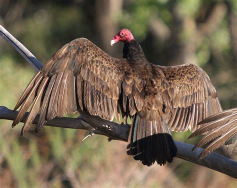 turkey buzzard size