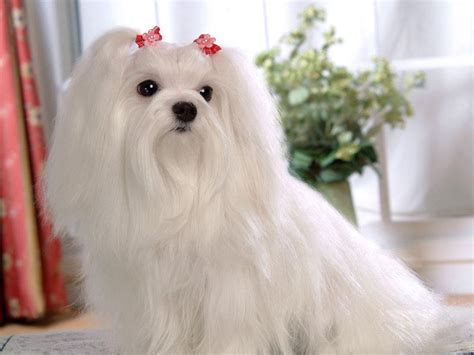 images of maltese puppies maltese wallpaper breeds picture