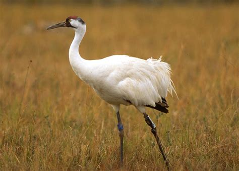 whooping crane migration the badger and the whooping crane