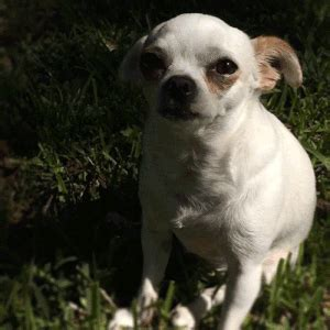 my is coughing my chihuahua is coughing