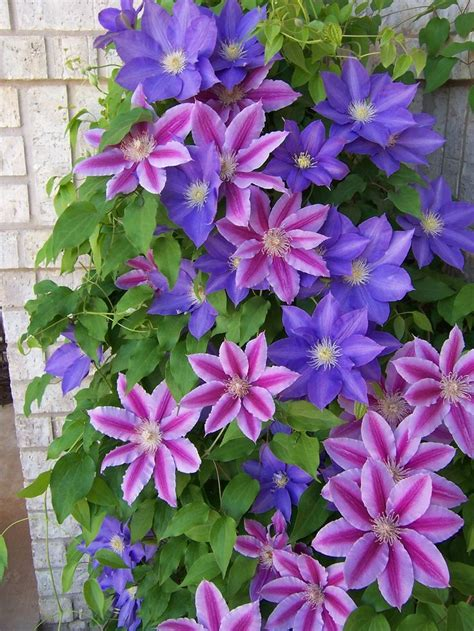 two gorgeous clematis plant right next to each other to twine together up the vine pole or