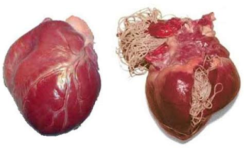 heartworms in puppies are heartworms a danger to your or not