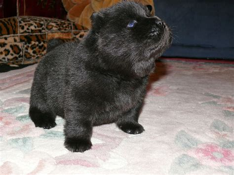 how to a pig pup puppy or guinea pig puppy in