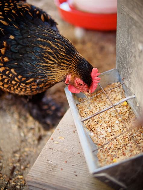 Chicken Feed Whole Grain Chicken Feed Updated And Now Corn
