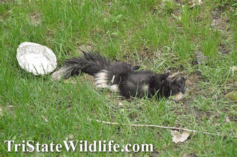 dead raccoon in my backyard dead animal removal in westchester ny tristate wildlife
