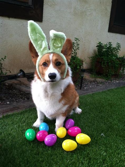 henry the s corgi a 17 best images about corgis in bunny ears on