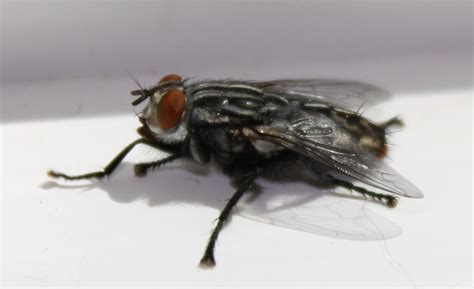 flies in house flies in house 28 images house flies house fly prevention pittsburgh house fly