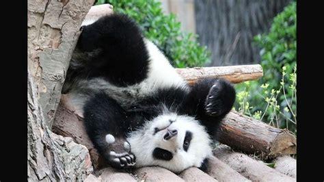 gambar bayi panda lucu  bakal bikin kamu gemas