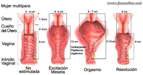 penes gruesos dentro de las vajinas de mujer sexualidad respuesta sexual femenina fase