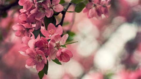 wallpaper for desktop of flower peach flowers hd wallpapers