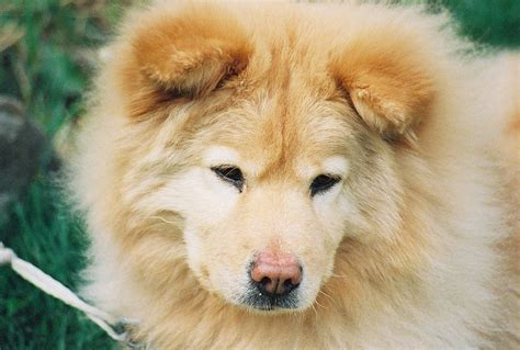 chow mixed with golden retriever golden retriever chow mix yin or yang