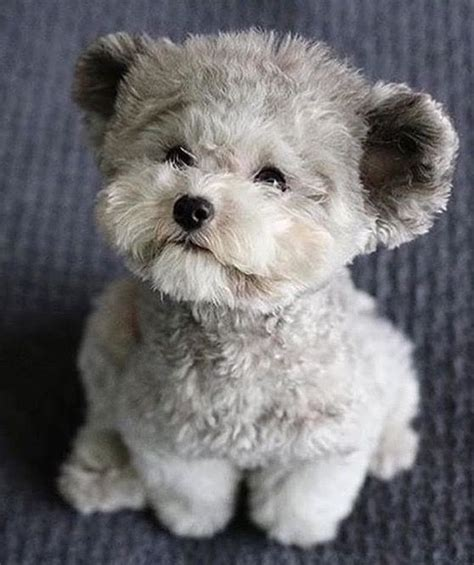 poodle haircuts images best 25 poodle haircut ideas on pinterest labradoodle