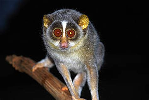Beautiful Home Offices slender loris wwf india